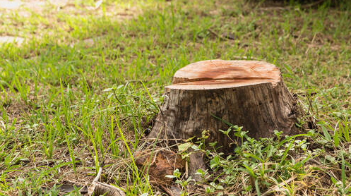 Stump in a Longueuil resident's home. The grubbing will be done by Emondage Longueuil Pro.